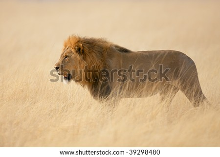 Male lion walking in the tall grass ; panthera leo