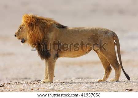 Male lion walking on rocky soil in Etosha desert ; panthera leo