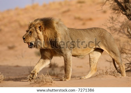 Male lion walking on sand dune; panthera leo; Kalahari desert; South Africa