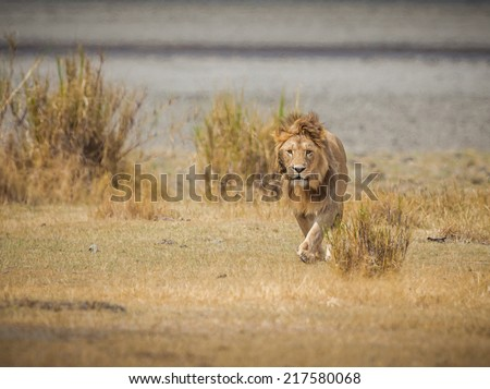 Male lion walks toward camera in the wilds of Africa