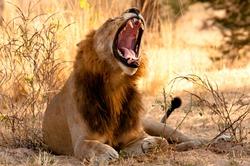 Male Lion yawning, Ruaha National Park, Tanzania.