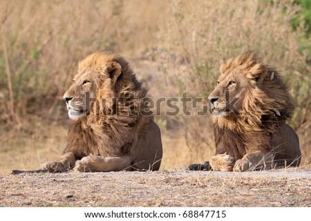 Male Lions, Moremi National Park, Botswana