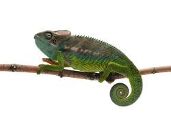 Male lizard Madagascar spiny Chameleon isolated on white background