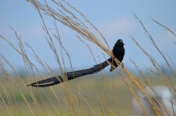 Male Long-tailed Widowbird / Long-tailed Widow (Euplectes progne) perched on tall grass at Rietvlei Nature Reserve, South Africa