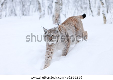 Male Lynx approaching through powder snow