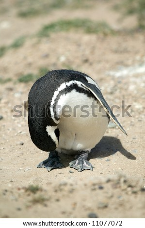 Male Magellanic Penguin taking a bow at Peninsula Valdes, Argentina.