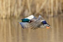Male Mallard duck (Anas platyrhynchos) taking off from a wetland reedbed