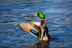 Male mallard duck flapping to take off and fly away in London
