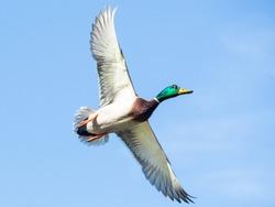 Male Mallard duck flying