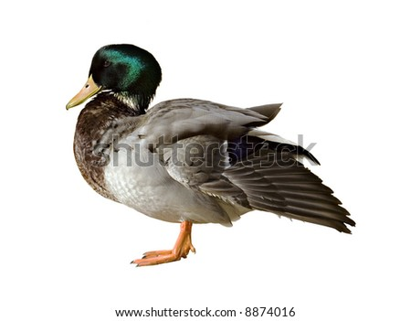 Male mallard duck isolated on a white background