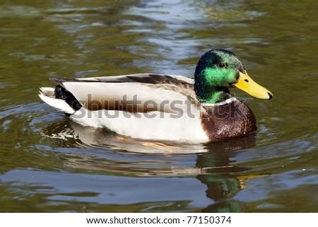 male mallard duck on the lake