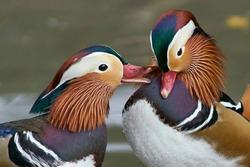 Male Mandarin Duck (Aix galericulata) exhibiting their ornate plumage at Slimbridge in Gloucestershire, England.
