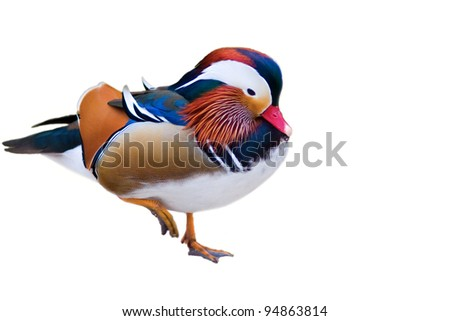 male mandarin duck (Aix galericulata) - isolated on white background