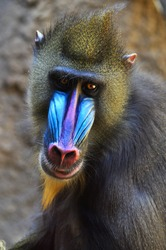 Male Mandrill Baboon Closeup of head