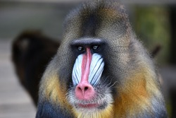 Male Mandrill (Mandrillus sphinx). Mandrills mostly live in tropical rainforests and in very large groups. Mandrills have an omnivorous diet consisting mostly of fruits and insects.