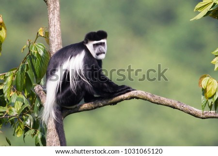 male Mantled Guereza, also known as Black-and-White Colobus, at Bwindi Impenetrable Forest, Uganda