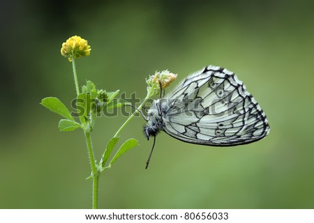 Male Marbled White Butterfly (Melanargia Galathea) hanging upside down