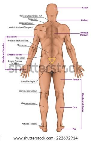 Royalty-free Woman, women, female anatomical body,… #222692899 Stock ...