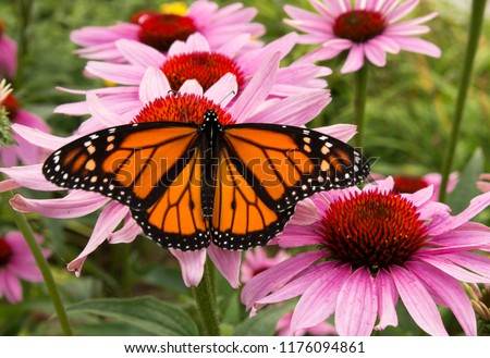 Male monarch butterfly is a pollinator for a cluster of vivid pink flowers. Stock photo ©