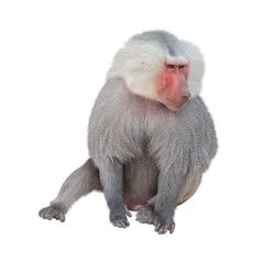 Male monkey hamadryad (Papio hamadryas, genus of baboons). Isolated on white background