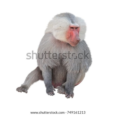 Male monkey hamadryad (Papio hamadryas, genus of baboons). Isolated on white background