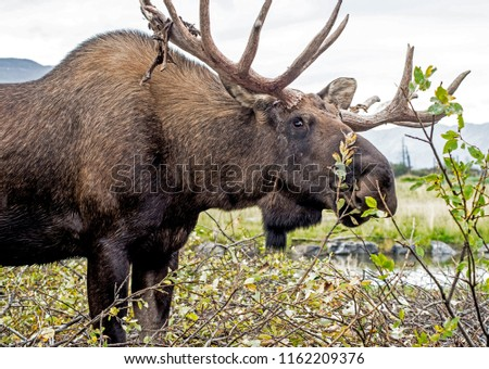 Male Moose feeding on green shrubs.
