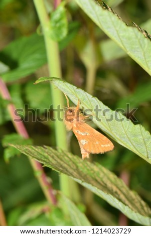 Male moth called gold swift (Phymatopus hecta). Picture taken in Troms county, Norway.