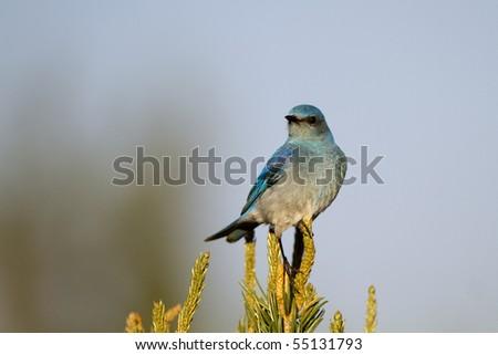 Male Mountain Bluebird atop a New Mexico pinyon pine