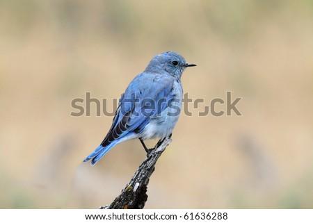 Male Mountain Bluebird (Sialia currucoides) in Yellowstone National Park