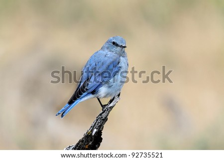 Male Mountain Bluebird (Sialia currucoides) in Yellowstone National Park