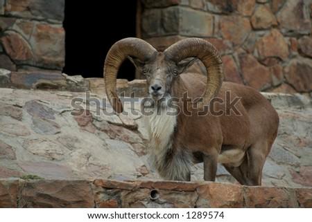 Male mountain goat