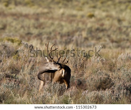 Male Mule Deer with a full rack licks a wound on his flank
