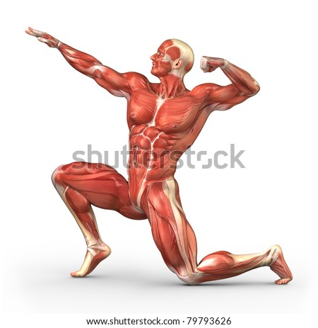 Male muscular system in body-builder position