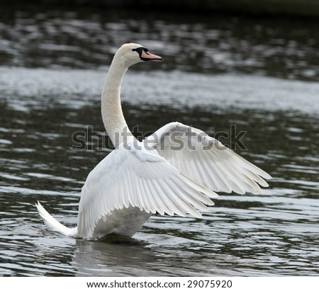Male Mute Swan stretching his wings