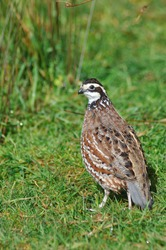 male Northern Bobwhite, Virginia Quail or Bobwhite Quail, Colinus virginianus, a ground-dwelling bird native to the United States, Mexico, and the Caribbean, and a favourite with gamebird shooters.