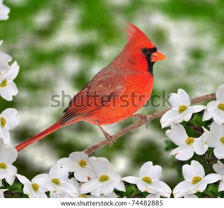 Male Northern Cardinal (Cardinalis cardinalis) and dogwood flowers.