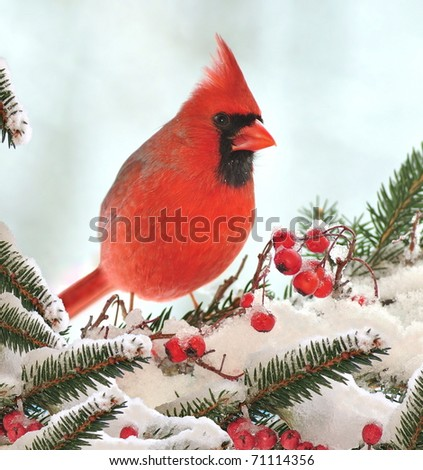 Male Northern Cardinal (Cardinalis cardinalis) on a festive spruce bough.