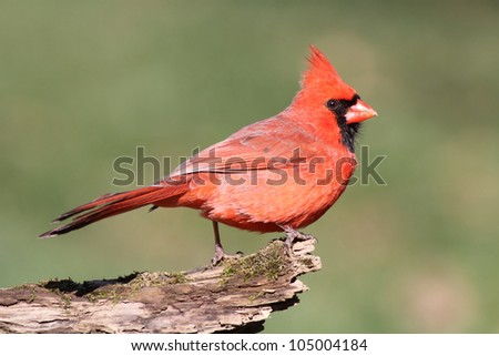 Male Northern Cardinal (cardinalis cardinalis) on a log with a green background - stock photo
