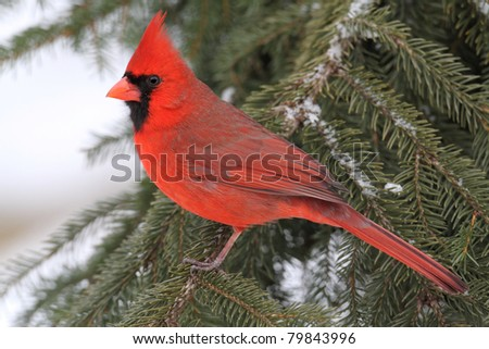 Male Northern Cardinal (cardinalis cardinalis) on a Spruce branch covered with snow - stock photo