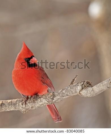 Male northern cardinal, Cardinalis cardinalis, perched on a tree branch