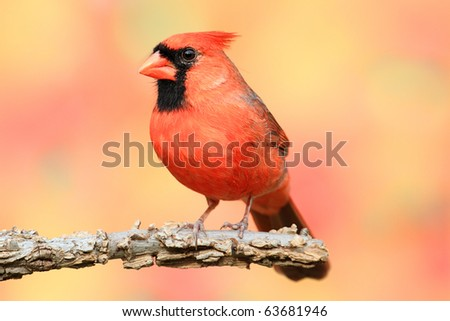 Male Northern Cardinal (Cardinalis) perched with a fall colors