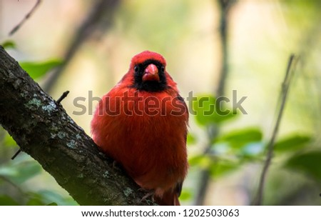 Male Northern Cardinal direct eye contact