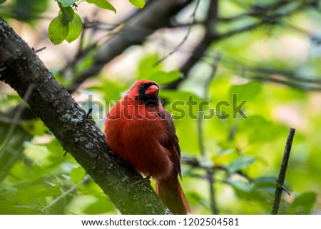 Male Northern Cardinal feeling sleepy