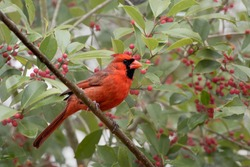 Male Northern Cardinal in American Holly Tree in January