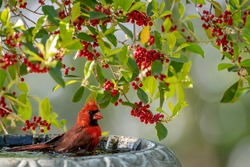 Male Northern Cardinal in Birdbath with American Holly Branches in Background
