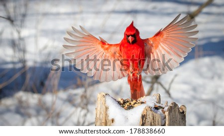 stock-photo-male-northern-cardinal-in-fl