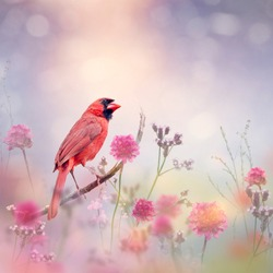Male Northern Cardinal in the flower garden