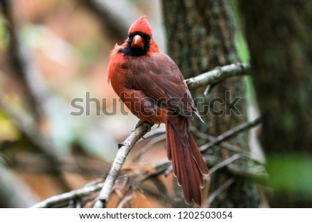 Male Northern Cardinal on a tree branch