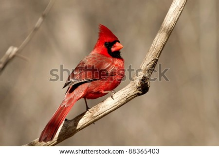 Male Northern Cardinal On Branch Against Soft Neutral Background