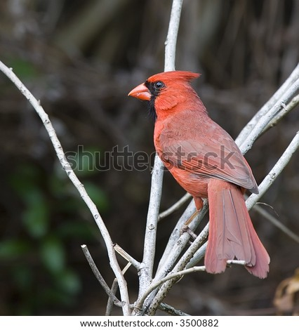 Male Northern Cardinal on perch.